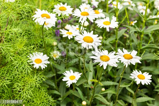istock Group of white and yellow orange chamomile daisy flowers growing in garden during summer season with leaves pattern 1131593417