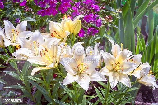 group of white asiatic lilies in the garden