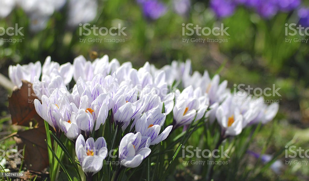 Group of white crocus royalty-free stock photo