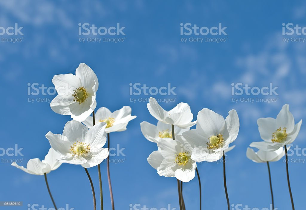group of white flowers on a background sky royalty-free stock photo