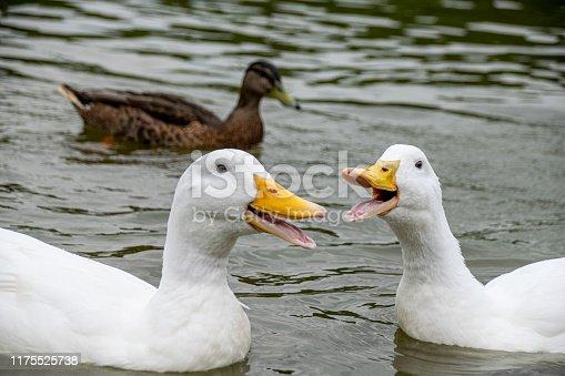 Group of white Pekin Ducks quacking