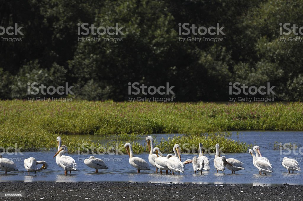 Group of White Pelicans Resting in Slough royalty-free stock photo