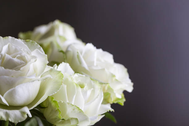 gruppe von weißen rosen mit schwarzem hintergrund studioaufnahme - grüne hochzeit themen stock-fotos und bilder