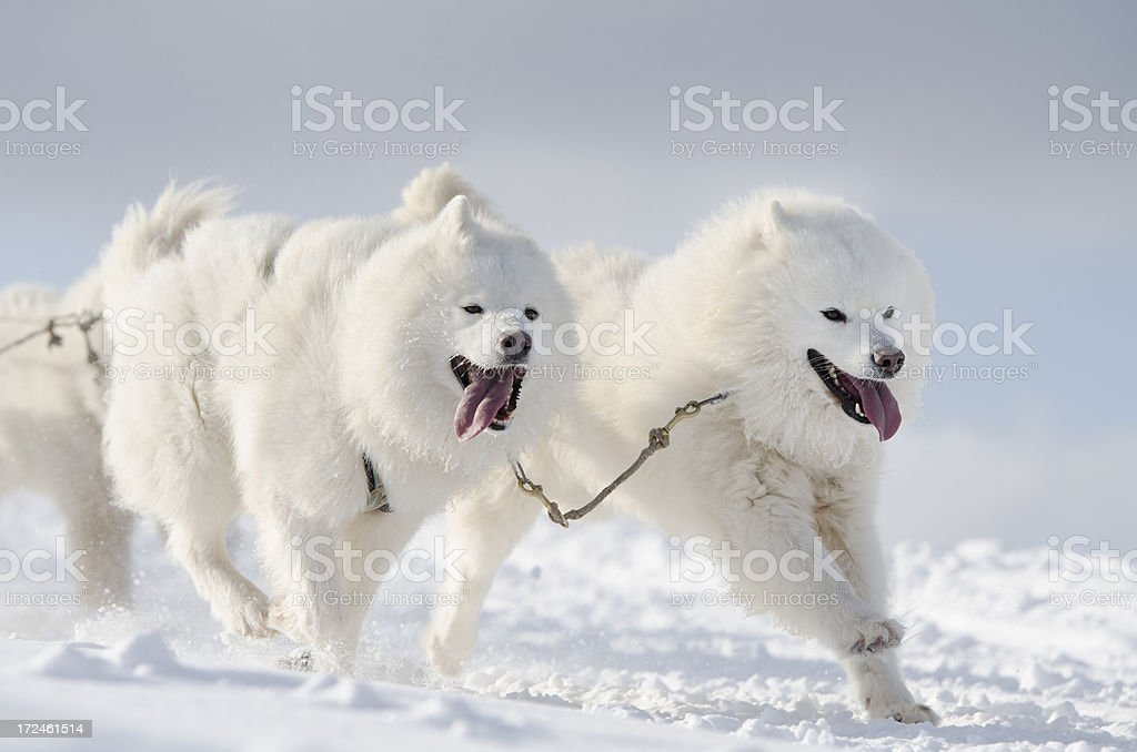 Group of white samoyed sled dogs running in snow royalty-free stock photo