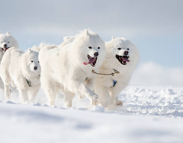 Group of white samoyed sled dogs running in snow stock photo
