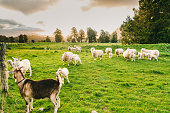 Group of White sheep in south island New Zealand with nature landscape background
