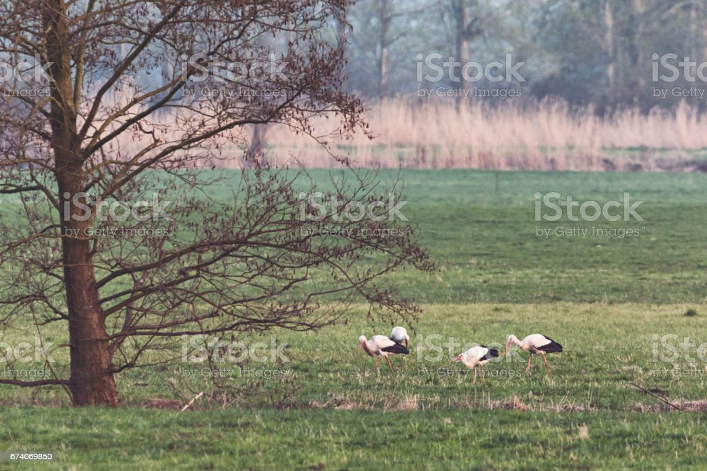 Group of white storks in the meadows of Oderbruch / Germany/ Brandenburg royalty-free stock photo