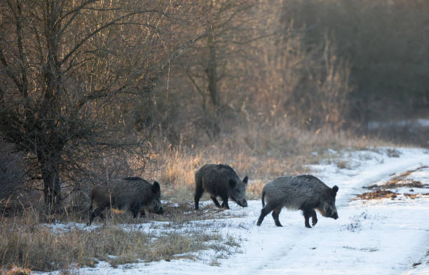 Group of wild boars on snow Small group of wild boars (sus scrofa ferus) walking on snow in forest. Wildlife in natural habitat wild boar stock pictures, royalty-free photos & images
