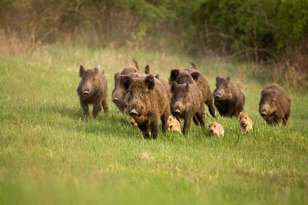Group of wild boars, sus scrofa, running in spring nature. Group of wild boars, sus scrofa, running in spring nature. Action wildlife scenery of a family with small piglets moving fast forward to escape from danger. wild boar stock pictures, royalty-free photos & images
