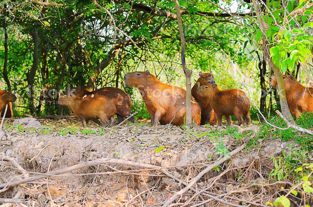 Group of wild capybaras on forest of Pantanal, Brazil stock photo