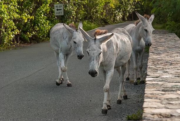 Grupo de Wild burros escuna as ruas de St. John - foto de acervo
