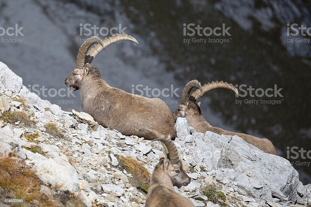 group of wild european ibex stock photo