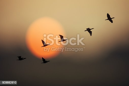 Group of wild geese in sunset