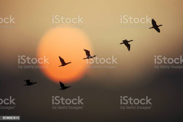 Group of wild geese in sunset picture id928882610?b=1&k=6&m=928882610&s=612x612&h=8pfzwyl brsm0f0vergfnmroy0wwhp9ux 8wu4s nr0=