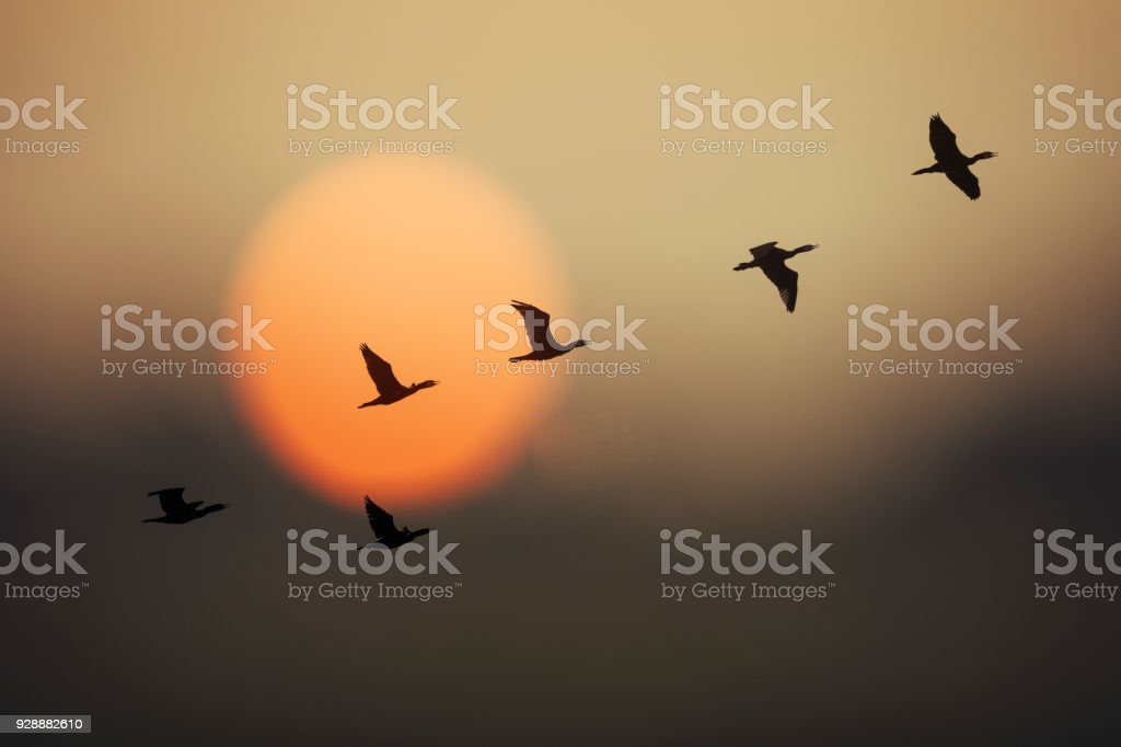 Group of wild geese in sunset stock photo