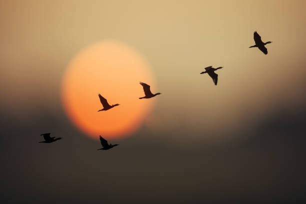 Group of wild geese in sunset Group of wild geese in sunset flock of birds stock pictures, royalty-free photos & images