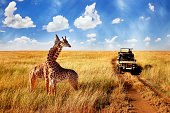 Group of wild giraffes in african savannah against blue sky with clouds near the road. Tanzania. National park Serengeti.