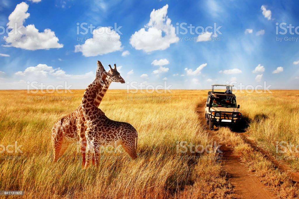 Grupo de jirafas salvaje en la sabana africana contra el cielo azul con nubes cerca de la carretera. Tanzania. Parque Nacional Serengeti. - foto de stock
