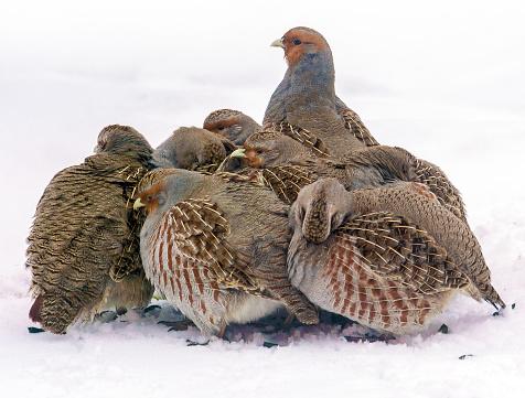 Group of wild grey partridges seeking food in winter field