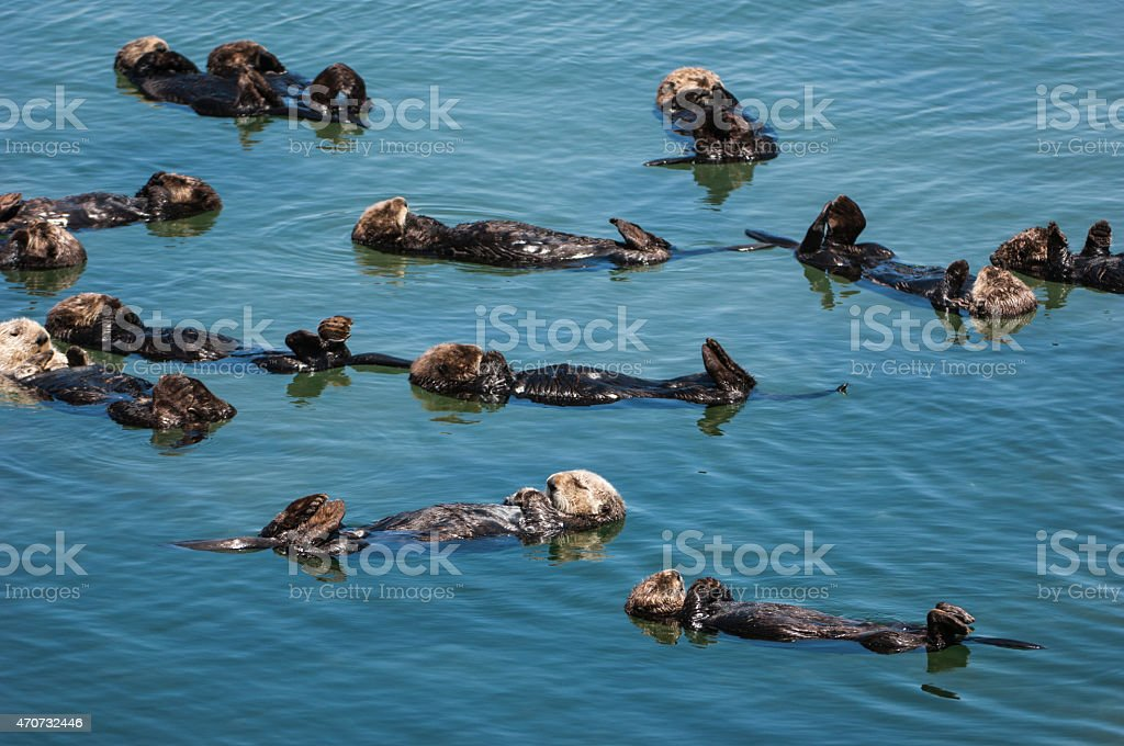 Group of Wild Sea Otters Resting in Calm Ocean Water stock photo