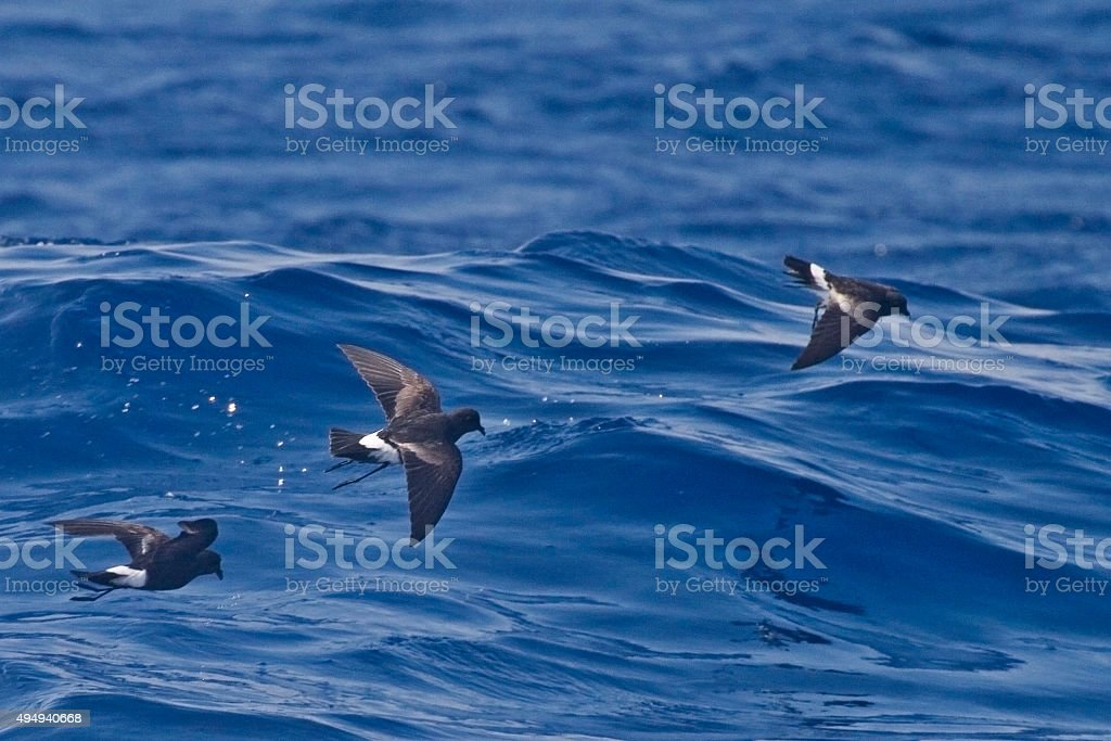 Group of Wilson's Storm-Petrel, Oceanites oceanicus stock photo
