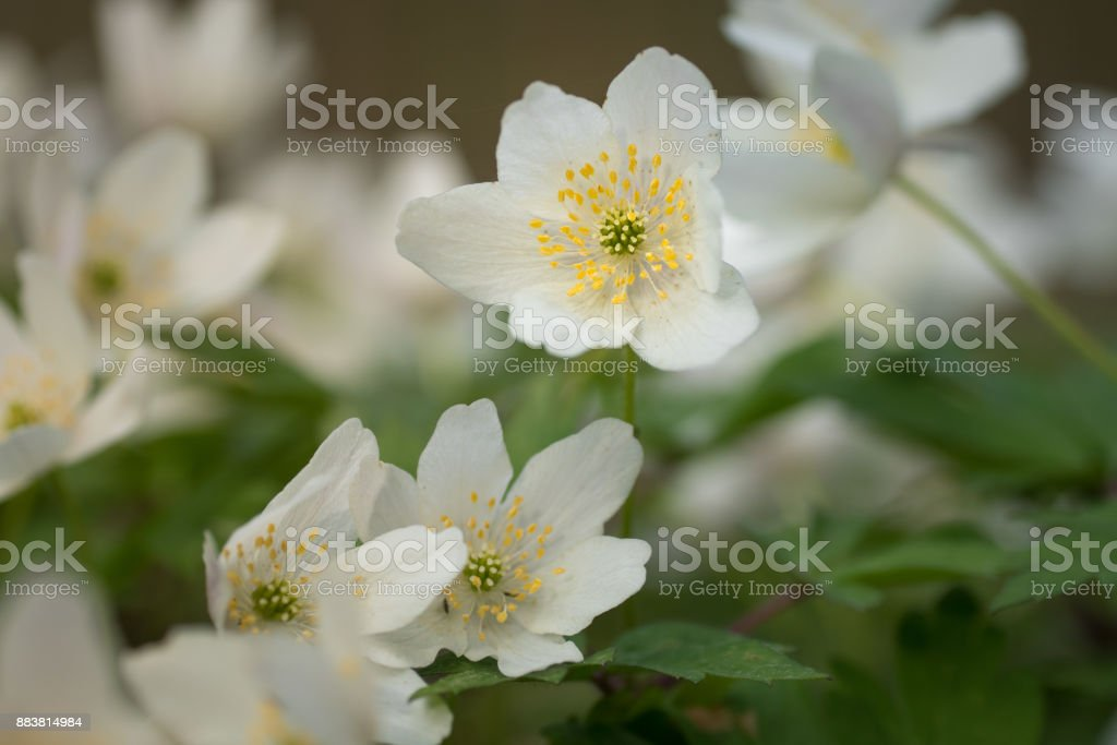Group of wood anemone flowers in spring sunlight stock photo