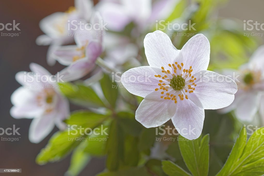 Group of wood anemone stock photo