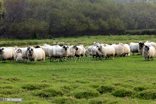 Group of white with black markings sheep in green field
