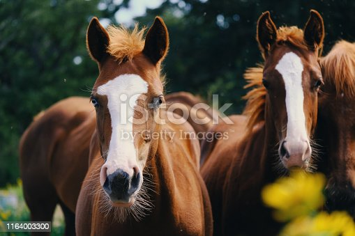 istock Group of yearling horses. 1164003300