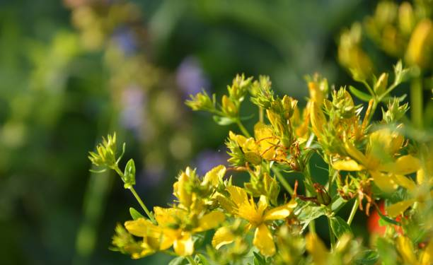 group of yellow flowers against a green background Yellow flowers blooming in a garden in mid summer at midday werken stock pictures, royalty-free photos & images