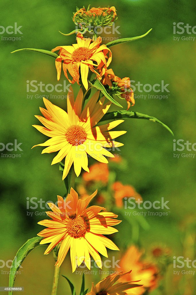 Group of Yellow Flowers in the Nature royalty-free stock photo