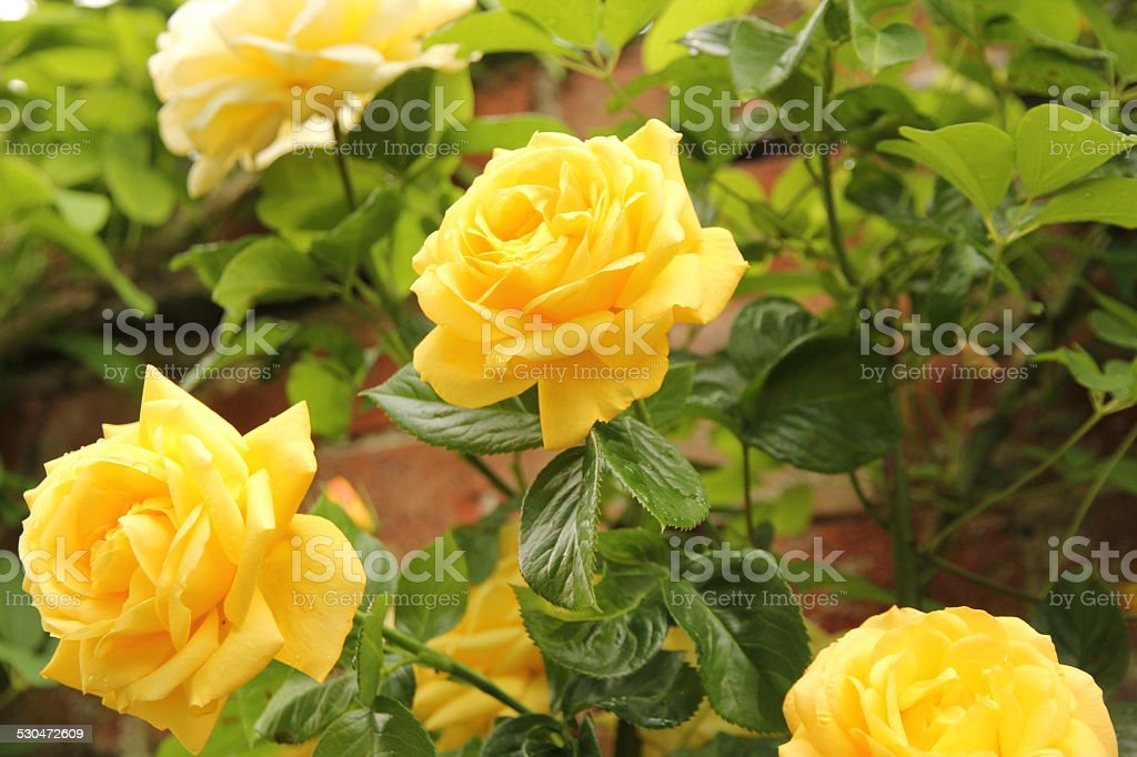 Group of yellow roses stock photo