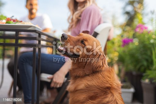 A multiethnic group of young friends enjoy good food and conversation together on a terrace outside on a summer evening. The focus iis on a beautiful golden retriever sitting by the table in the foreground.