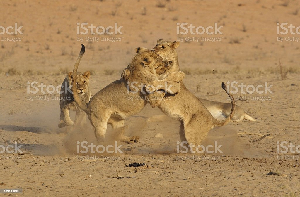 group of young lions playing with each other royalty-free stock photo