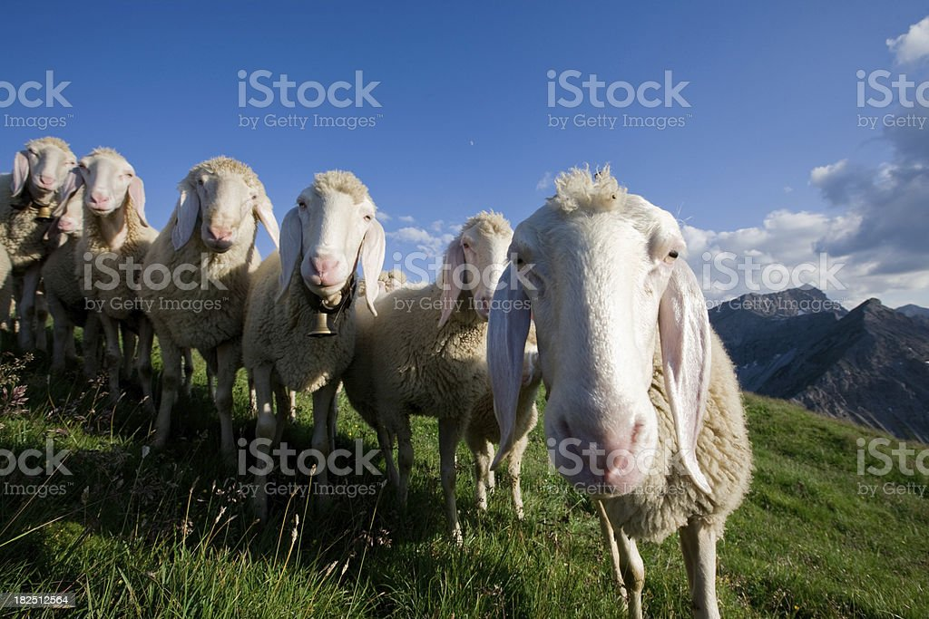 group of young sheep looking into the camera stock photo
