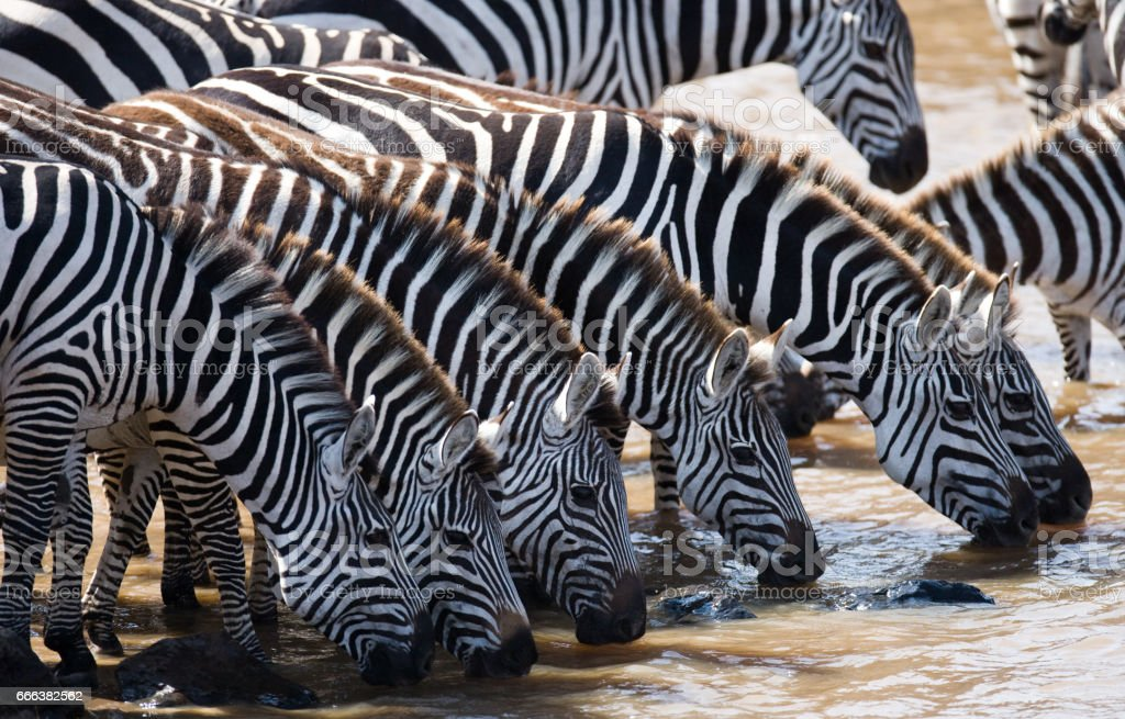 Group of zebras drinking water from the river. Kenya. Tanzania. stock photo