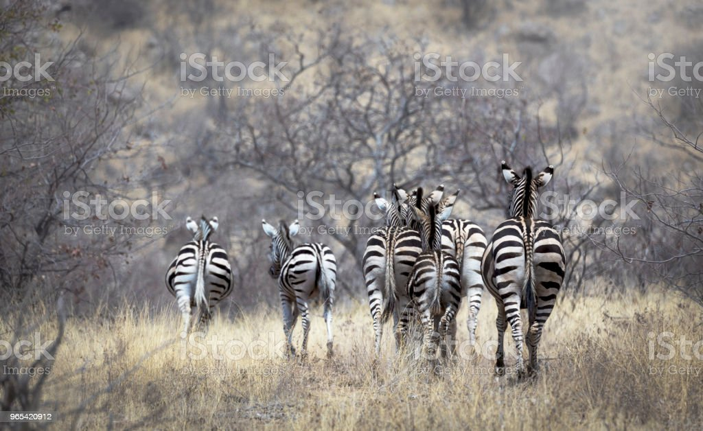 Group of zebra's from backside in bush wildlife landscape zbiór zdjęć royalty-free