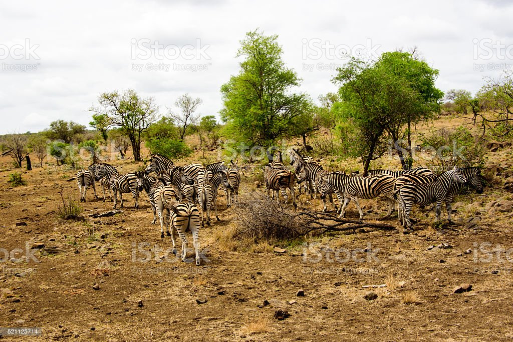 Group of Zebras in a safari landscape stock photo