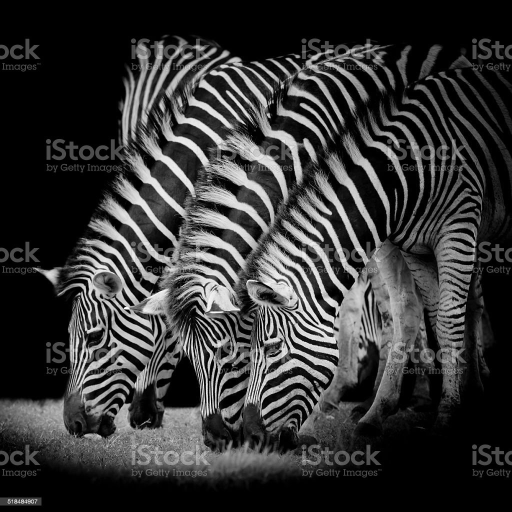 group of zebras stock photo