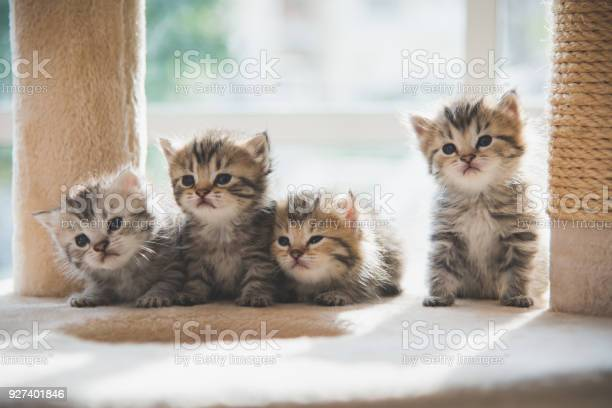 Group persian kittens sitting on cat tower picture id927401846?b=1&k=6&m=927401846&s=612x612&h=tbdbrdgueycjkr2g4xqetgetjiha11gwiknya7i1liw=