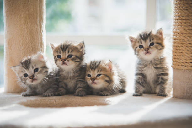 Group persian kittens sitting on cat tower picture id927401846?b=1&k=6&m=927401846&s=612x612&w=0&h=9bhel8r5favaqrc4rgmbyvnizlwhdoou3mip36nb3l8=