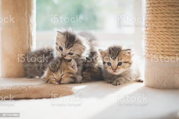 Group persian kittens sitting on cat tower picture id927401860?b=1&k=6&m=927401860&s=612x612&h=ppcheb5bquefxpyywczsg4berlvqygasa01zcmio  c=