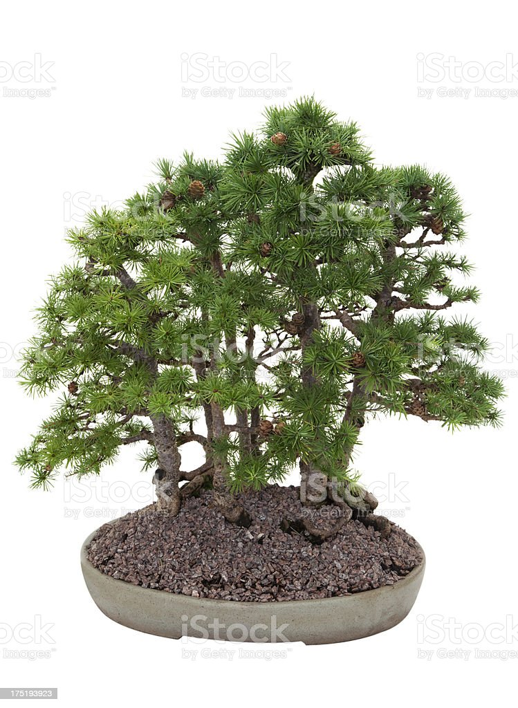 Group Planting Of Larch Bonsai On White Stock Photo Download Image Now Istock