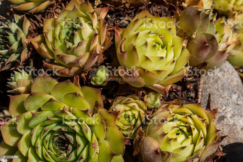 Group plants Jovibarba stock photo