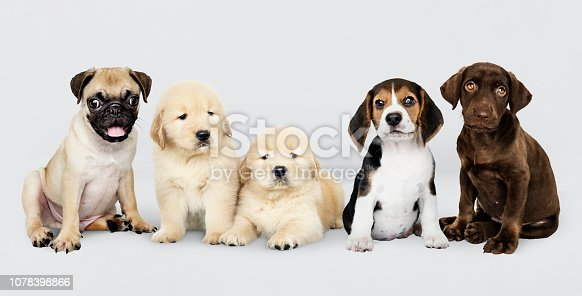 Group portrait of five adorable puppies