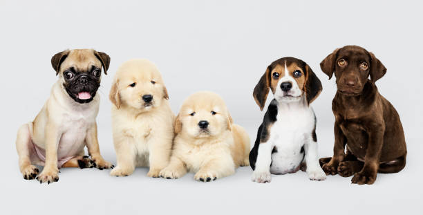 Group portrait of five adorable puppies stock photo