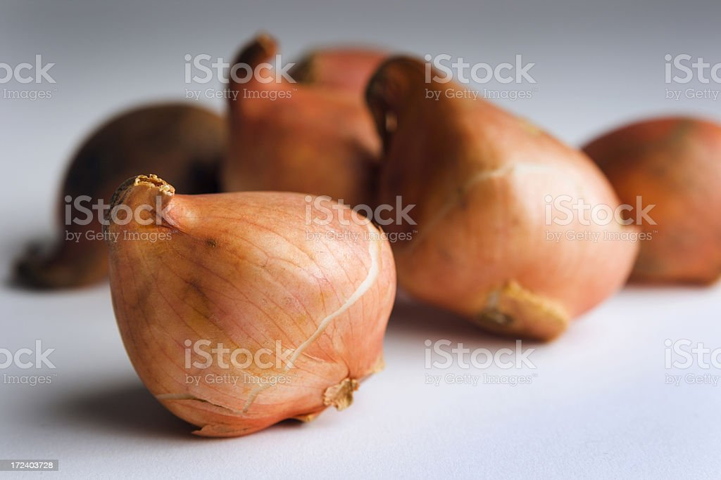 Group Portrait of Tulip Bulbs royalty-free stock photo