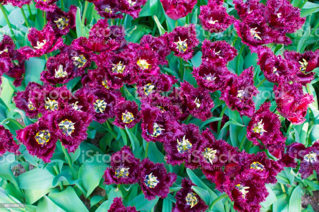 Group purple tulips. Spring landscape. royalty-free stock photo