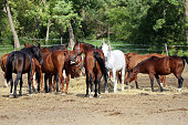 Herd of purebred brood mares eating hay in summer corral