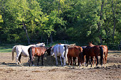 Herd of purebred horses eating hay in summer corral